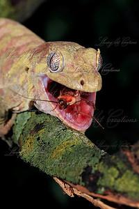 Rhacodactylus chahoua  ( Mossy Prehensile tailed gecko )