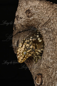 Rhacodactylus leachianus ( New Caledonian Giant gecko)  This photo won 'Best of Show' at the Tinley Park show in 2008.