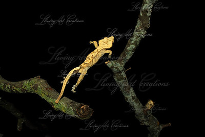 Rhacodactylus ciliatus jump ( Crested Gecko )