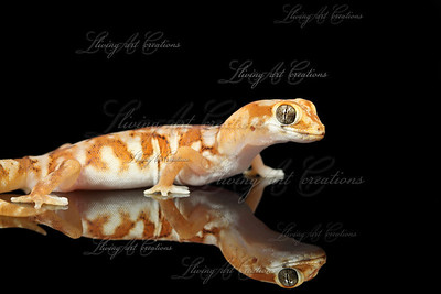 Pachydactylus mariquensis