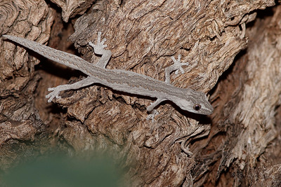 Northern Spiny-tailed Gecko