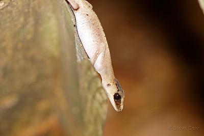 Chameleon Gecko