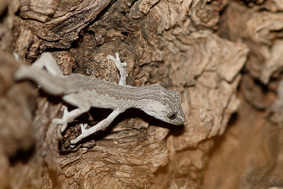 Southern Spiny-tailed Gecko