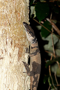 Lace Monitor  - Bell's Phase