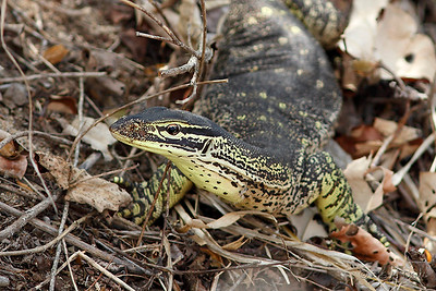 Northern Yellow Spotted Monitor