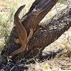 Varanus gouldii