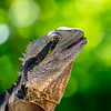 Eastern Water Dragon (Physigathus Lesuerii)