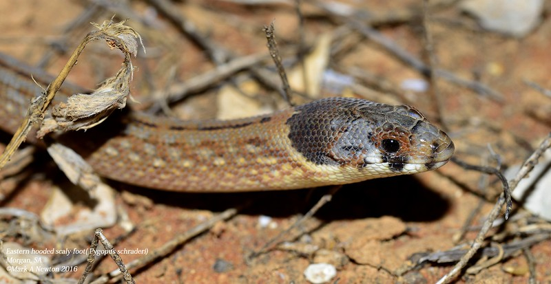 Pygopus schraderi (Eastern Hooded Scaly-Foot)