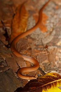 Burton's Legless Lizard