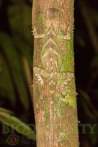 Guichenot's Dwarf Iguana