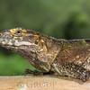 Spiny Tailed Iguana Amputee.