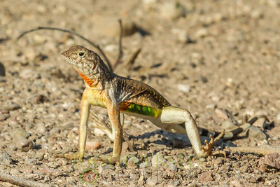 Zebra-tailed Lizard, Callisaurus draconoides