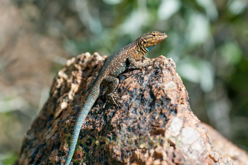 Biodiversity Group, Maricopa Mountains-0095