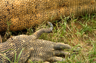 A closeup of a Komodo Dragon's (Varanus komodoensis) left rear foot, at the St. Augustine Alligator Farm Zoological Park.