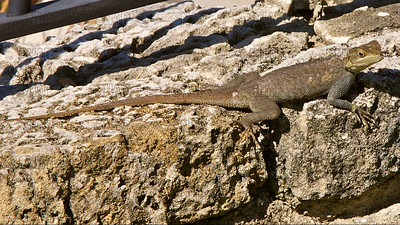 Agama Lizard (Agama sp.) subordinate male or female suns itself, at the Fairchild Tropical Botanic Garden.