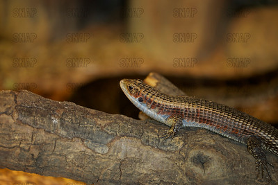 Sudan Plated Lizard, Great Plated Lizard, Rough-scaled Plated Lizard, Western Plated Lizard (Gerrhosaurus major bottegoi), at the Jacksonville Zoo and Gardens.
