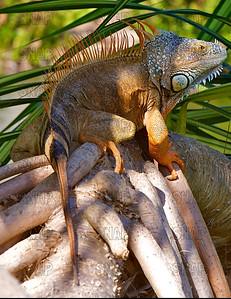 Green Iguana (Iguana iguana) ♂, at the Fairchild Tropical Botanic Garden.