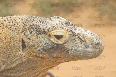 A closeup of a Komodo Dragon's (Varanus komodoensis) head, at the St. Augustine Alligator Farm Zoological Park.
