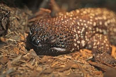 Closeup of a sleeping Mexican Beaded Lizard's (Heloderma horridum) at the Jacksonville Zoo and Gardens.