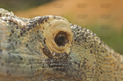 A closeup of a Komodo Dragon's (Varanus komodoensis) left eye, at the St. Augustine Alligator Farm Zoological Park.