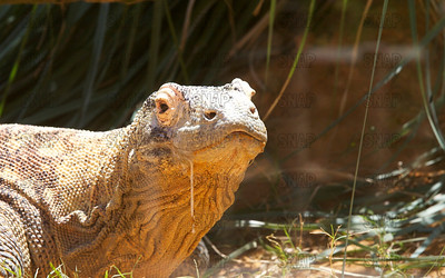 A closeup of a salivating Komodo Dragon's (Varanus komodoensis), at the St. Augustine Alligator Farm Zoological Park.