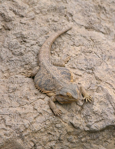 Inland or Central Bearded Dragon (Pogona vitticeps), at the Indianapolis Zoo.
