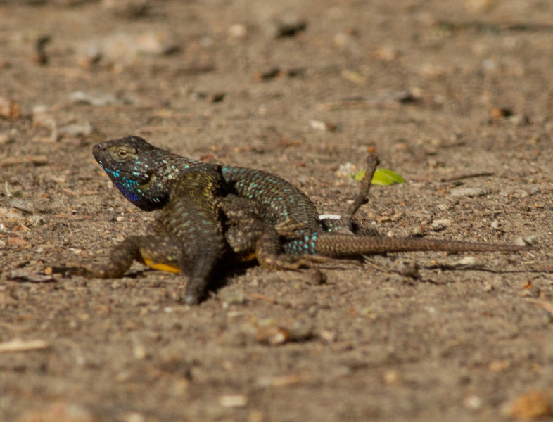 Fence Lizard  San Elijo Lagoon  2013 04 18 (4 of 11).CR2