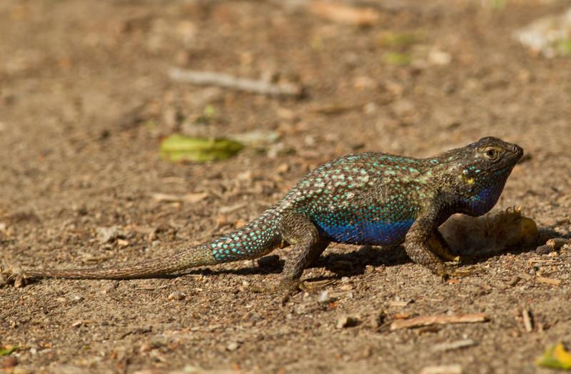 Fence Lizard  San Elijo Lagoon  2013 04 18 (9 of 11).CR2