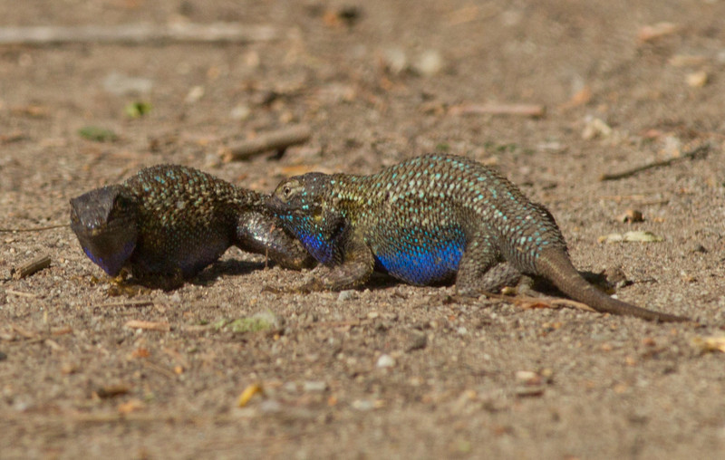 Fence Lizard  San Elijo Lagoon  2013 04 18 (1 of 11).CR2
