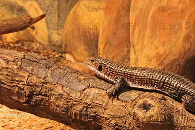 Western Plated Lizard (Gerrhosaurus major bottegoi); also known as the Sudan Plated Lizard, Great Plated Lizard, Rough-Scaled Plated Lizard at the Jacksonville Zoo and Gardens.