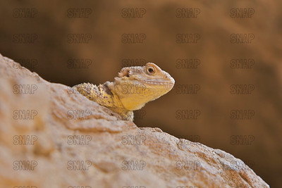 Inland or Central Bearded Dragon (Pogona vitticeps) peaks over a stone ledge, at the Indianapolis Zoo.