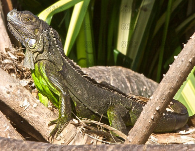 Green Iguana (Iguana iguana) ♀, at the Fairchild Tropical Botanic Garden.