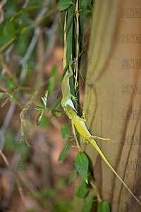 Two American Anoles, (Anolis carolinensis) fighting over a female.  American Anole are also known as: American Chameleon, Carolina Anole, Green Anole, Red-throated Anole.