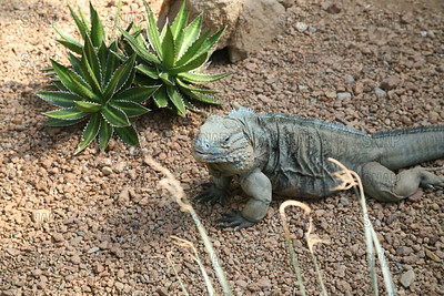 Blue or Grand Cayman Iguana (Cyclura lewisi) ♂, at the Indianapolis Zoo.