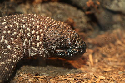 Closeup of a Mexican Beaded Lizard's (Heloderma horridum) at the Jacksonville Zoo.