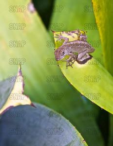 Brown, Cuban or Bahamian Anole (Anolis sagrei) ♀, at the Fairchild Tropical Botanic Garden.