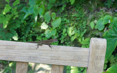 Brown, Cuban or Bahamian Anole (Anolis sagrei), at the Fairchild Tropical Botanic Garden.