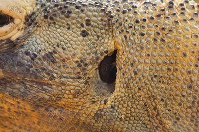 A closeup of a Komodo Dragon's (Varanus komodoensis) left ear opening, at the St. Augustine Alligator Farm Zoological Park.