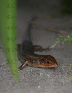 A male Broadhead Skink (Eumeces laticeps) looks for a meal, at the Jacksonville Zoo and Gardens.