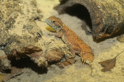 Shield-tailed Agama