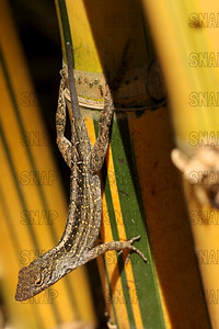 The brown anole (Anolis sagrei) is a lizard native to Cuba and the Bahamas, and is common in Florida; at the Jacksonville Zoo and Gardens.