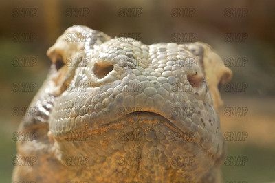 A closeup of a Komodo Dragon's (Varanus komodoensis) mouth, at the St. Augustine Alligator Farm Zoological Park.