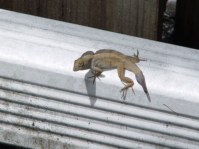 """Brown Anole (Anolis sagrei)  (September 5, 2005)  Yesterday, I watched this Brown Anole be a """"bully.""""  He went from a very dark brown to gray - in a matter of seconds.  Looks like he lost his original tail and a very strange-looking one has grown back!!"""
