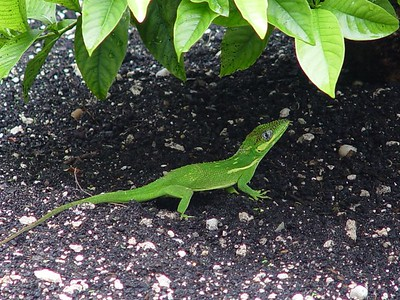 Knight Anole (Anolis equestris)  (September 20, 2005)  Knight Anoles grow to a length of 13 to 20 inches (33 to 51 cm). They are the largest of the Genus Anolis.  Knight anoles are native to Cuba and have been introduced into Dade and Broward counties in Florida.  This one came out from hiding during a lull from the winds and rains of Hurricane Rita.