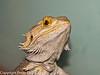 16 Aug 2010 - Captive lizards in vivarium. Copyright Peter Drury 2010