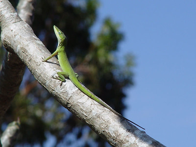 Green Anole (Anolis carolinensis)  (October 28, 2005)  Florida has only one native species of anole, the Green Anole. It is 5 to 8 inches (13 to 20cm) long and has the ability to change its color from green to brown. It can be distinguished from non-native anoles by its long pointed snout and the pinkish throat fan of the male.   This critter came out from hiding a few days after Hurricane Wilma.