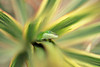 Carolina anole, Anolis carolinensis, is an introduced species to the Hawaiian Islands. No photoshop effects were used on this image.