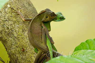 Green Crested Lizards, Sungei Buloh