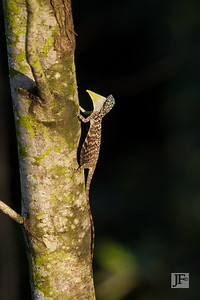 Common Gliding Lizard, Sungei Buloh