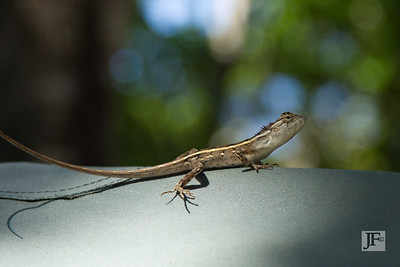 Common Garden Lizard, Yala